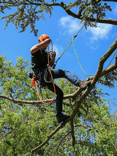 Picture of our tree climber working in tree using the proper safety gear in Joliet, IL